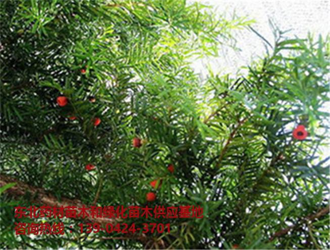 优质红豆杉苗木供应基地~优质红豆杉苗木批发价格~东北红豆杉苗-- 桓仁吉国苗圃