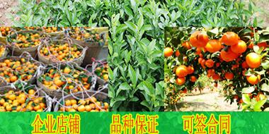 安顺哪里有沙糖桔苗木销售-- 柳州市绿盛农业科技有限公司