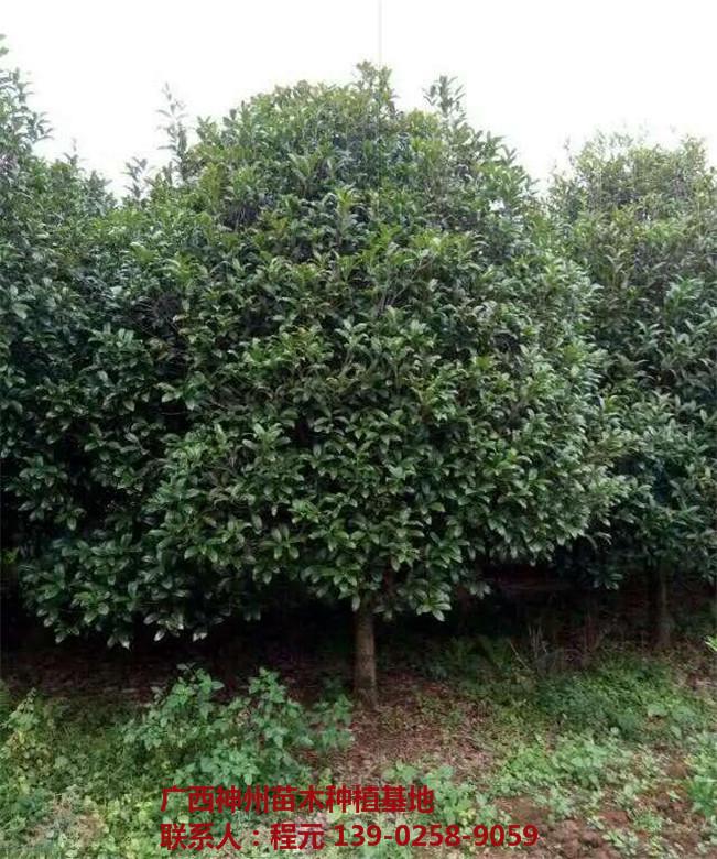 湖南桂花树供应基地 湖南桂花树批发价格-- 广西神州苗木种植基地