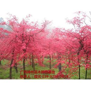 广西优质红枫树供应基地 广西优质红