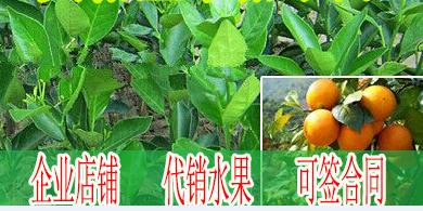 毕节附近哪里有皇帝柑苗批发基地-- 柳州市绿盛农业科技有限公司