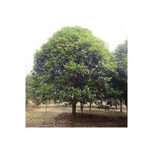 贵阳14公分到20公分桂花树