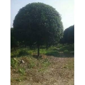 温江桂花树25公分-30公分