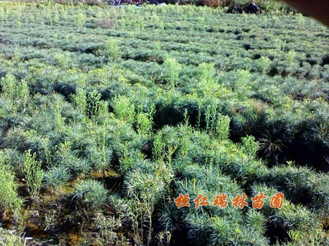 本溪红松苗、桓仁红松树苗、红松小苗-- 桓仁瑞林苗圃