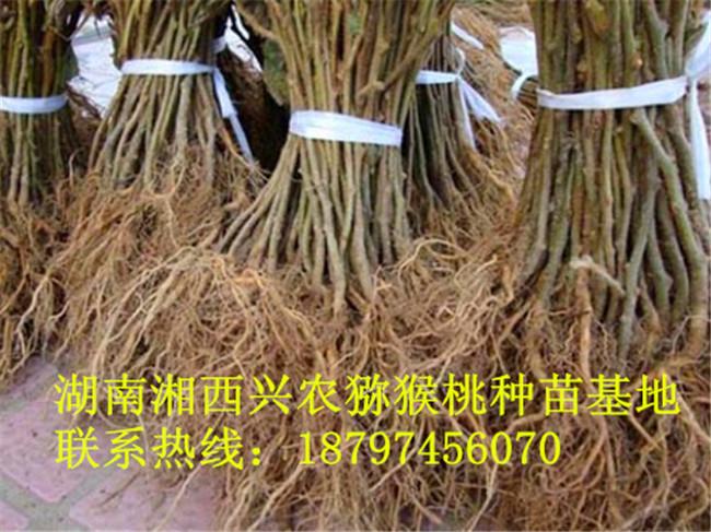 湖南猕猴桃实生苗采购 湘西猕猴桃实生苗直销-- 湖南湘西兴农猕猴桃种苗基地