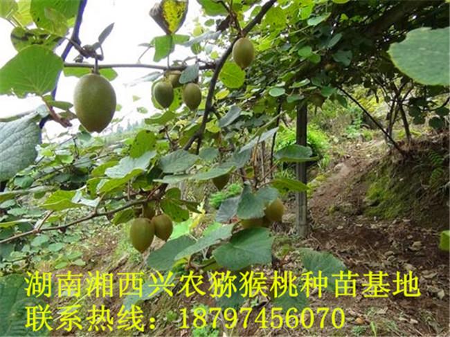 湘西猕猴桃苗培育基地 湖南猕猴桃苗种植基地-- 湖南湘西兴农猕猴桃种苗基地
