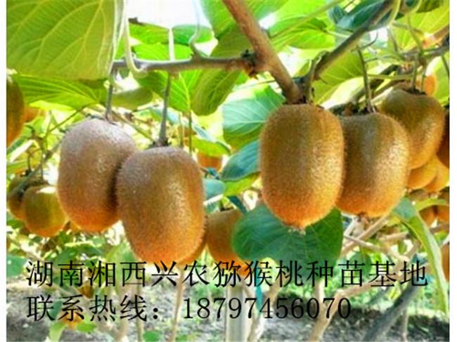 湘西猕猴桃苗价格 湖南猕猴桃苗批发-- 湖南湘西兴农猕猴桃种苗基地