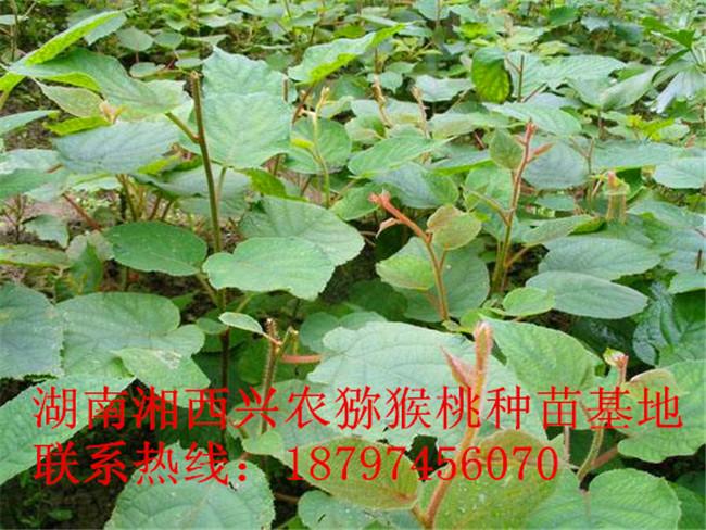 湖南猕猴桃实生苗直销 湘西猕猴桃实生苗采购-- 湖南湘西兴农猕猴桃种苗基地