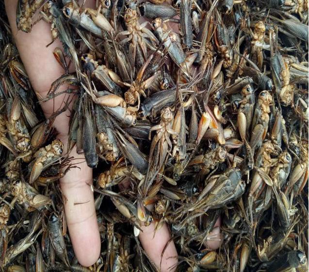 上海蟋蟀养殖基地 上海蟋蟀批发价格