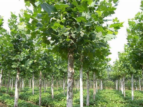 莱芜造型松盆景种植基地 莱芜造型松盆景批发价格-- 山东造型景观松种植基地