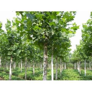 莱芜造型松盆景种植基地 莱芜造型松盆景批发价格