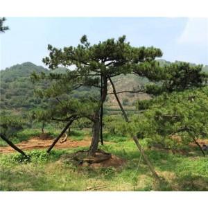 山东造型古树种植基地 山东造型古树批发价格