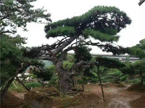 山东大型造型松种植基地-- 山东造型景观松种植基地