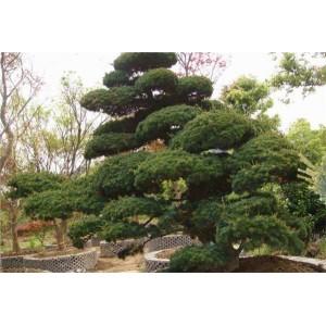 山东大型造型松种植基地