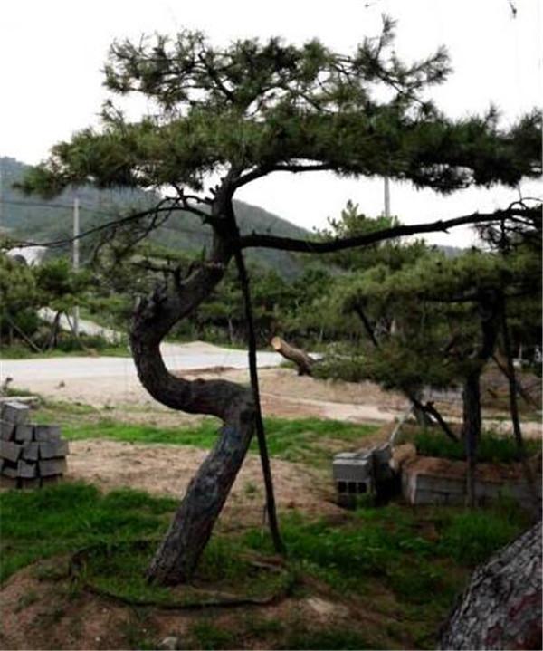 莱芜造型古树种植基地-- 山东造型景观松种植基地