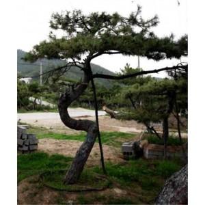 莱芜造型古树种植基地