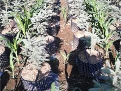 蓝杉盆栽苗培育苗圃 蓝杉盆栽苗批发价格