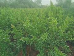 西安石榴树苗培育基地 西安石榴树苗批发价格