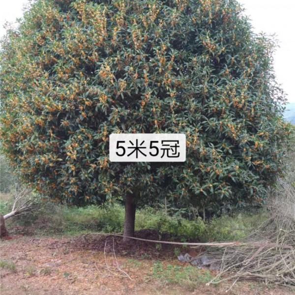 长期出售5米至6米精品黄金桂-- 丹桂种植_丹桂基地
