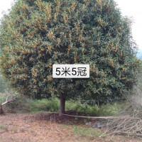 长期出售5米至6米精品黄金桂