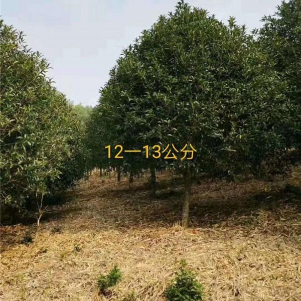 丹桂-- 丹桂种植_丹桂基地