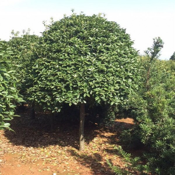 丹桂树苗-- 丹桂种植_丹桂基地