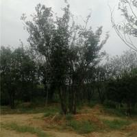安徽多杆丛生朴树供应价格 安徽多杆丛生朴树培育基地
