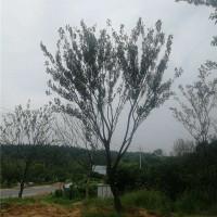 滁州单杆朴树供应价格 滁州单杆朴树培育基地