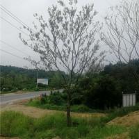 安徽单杆朴树供应价格 安徽单杆朴树培育基地