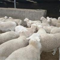 澳洲白绵羊