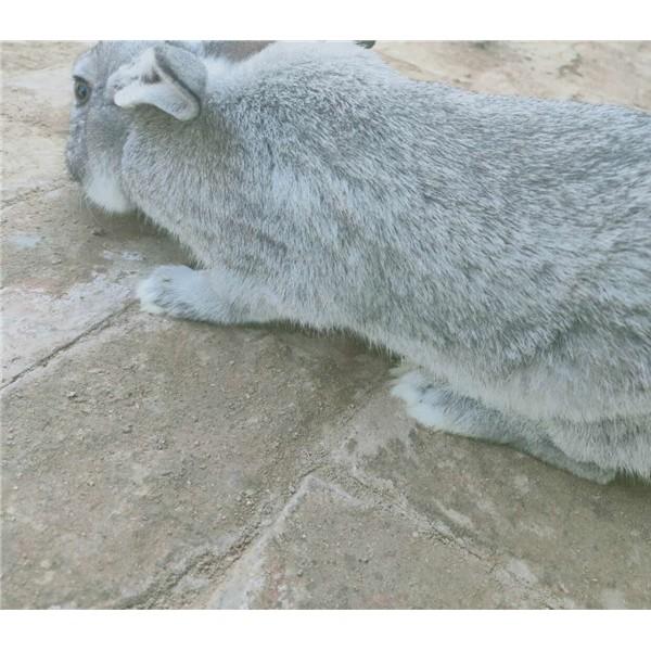 青紫蓝兔-- 种兔养殖