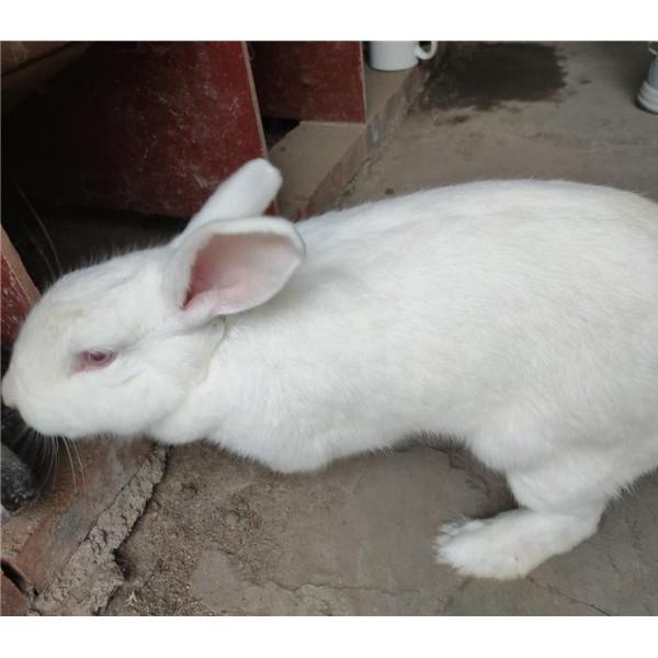 新西兰兔-- 种兔养殖