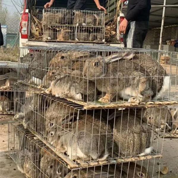 杂交肉兔-- 种兔养殖