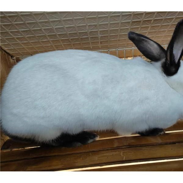 伊拉兔-- 种兔养殖