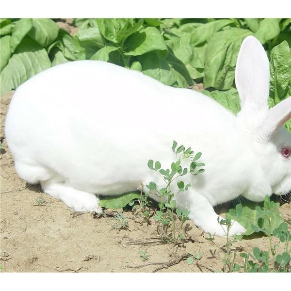 獭兔-- 种兔养殖
