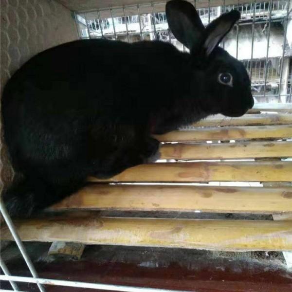 连山黑-- 种兔养殖