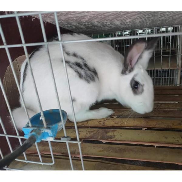 花巨兔-- 种兔养殖