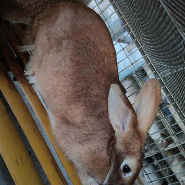 虎皮黄-- 种兔养殖