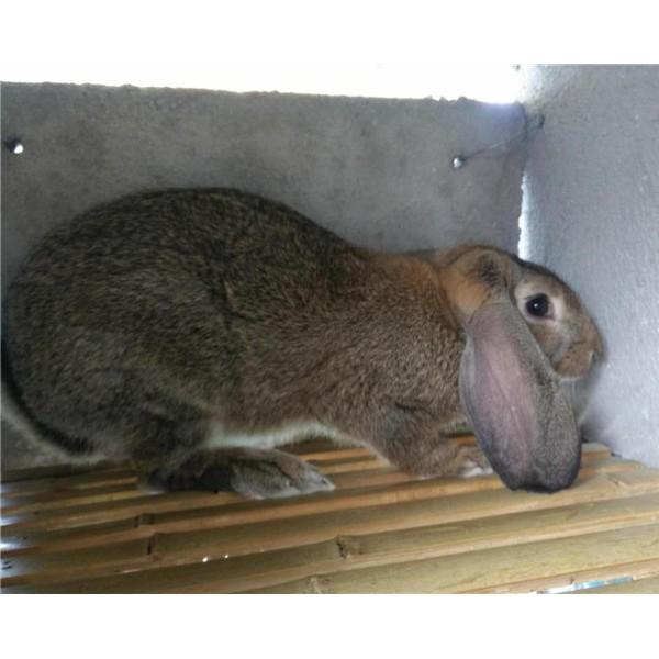 公羊兔-- 种兔养殖