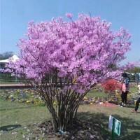 紫色映山红