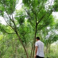 丛生蓝花楹(规格:15-30公分)