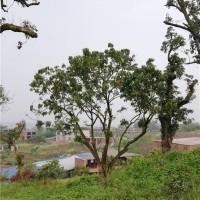 桂圆树(规格:10-60公分 )