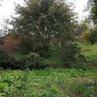 黄葛树(规格:10-30公分)