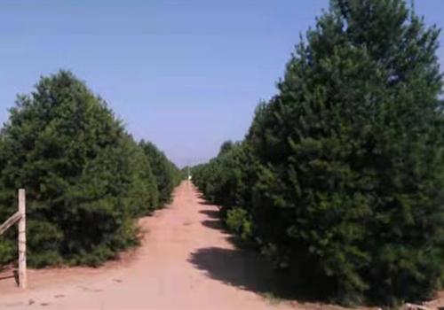 白皮松种植基地