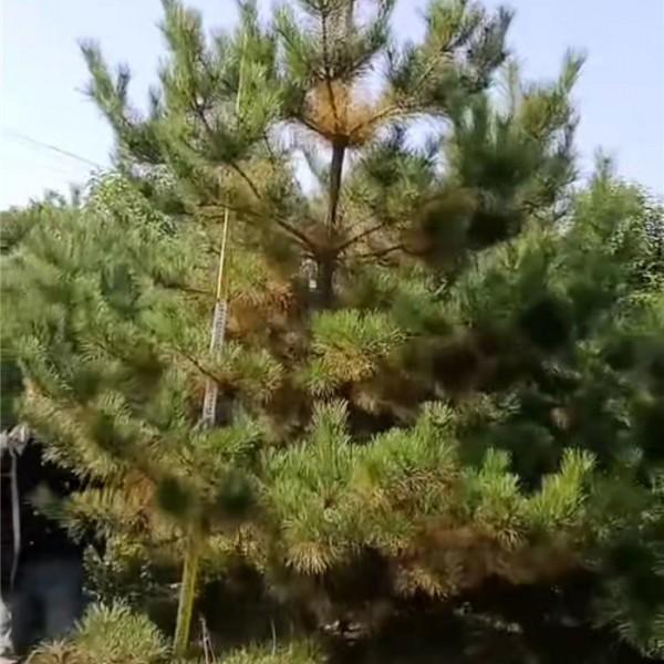 油松-- 白皮松种植基地