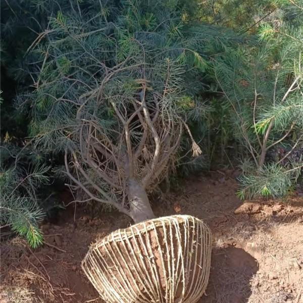 白皮松-- 白皮松种植基地